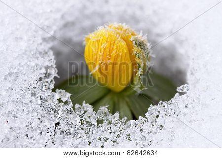 Winter Aconite, Lat. Eranthis Hyemalis In Snow