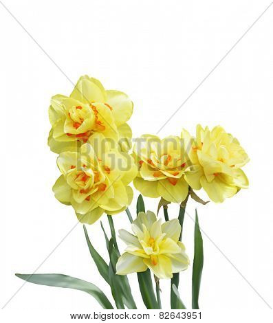 Digital Painting Of Yellow Daffodil Flowers Isolated On White Background