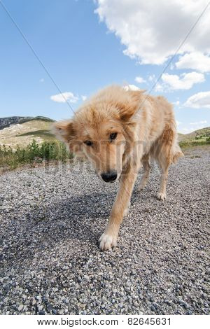 Greek Herding Dog