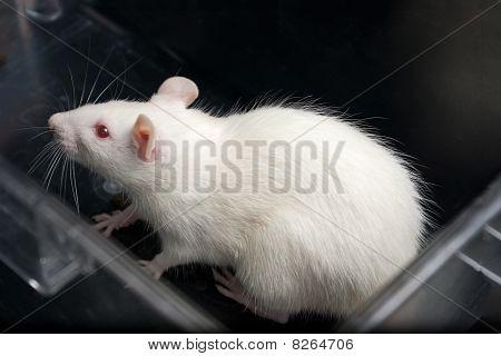 white (albino) laboratory rat in acrylic cage