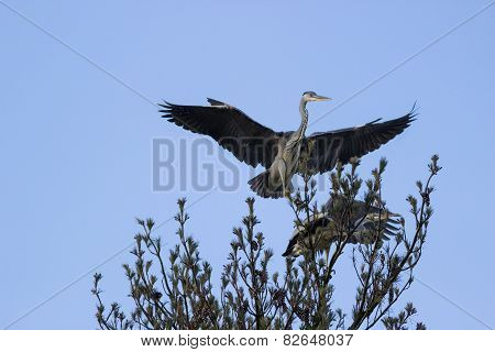 Gray Heron  In Treetop