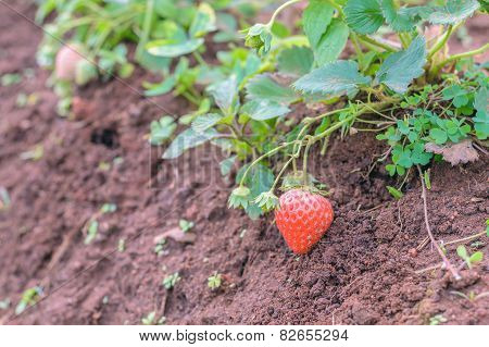 strawberry fruit grow in garden