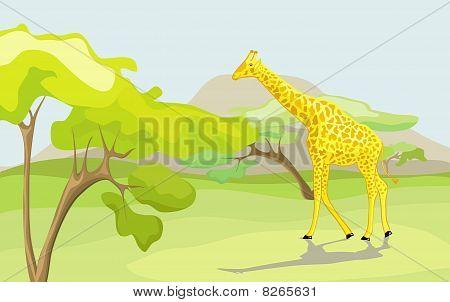 Giraffe In The Wild Nature