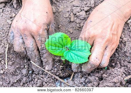 hand of farmers planting a gourd seedling