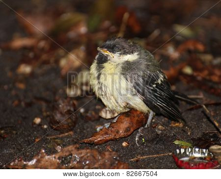 Helpless Great Tit Chick
