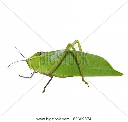 Leaf Bug Isolated On White Background