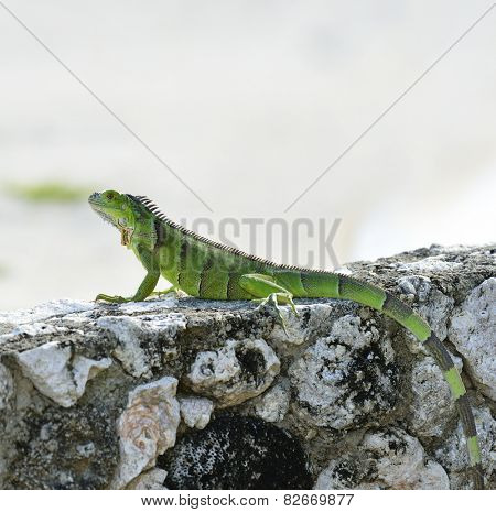Green Iguana Basking On The Stone Wall
