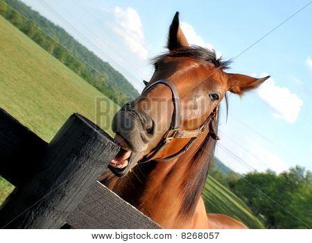 Horse biting a fense