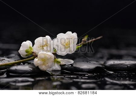 Black pebble and with lying down cherry blossom water drops