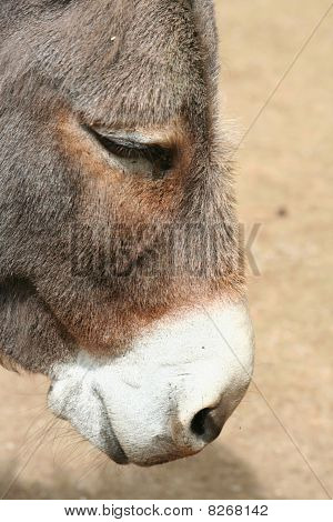 Head of Donkey in close up