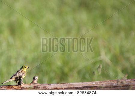 Young Yellowhammer