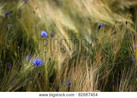 Cornflowers In Grain Field