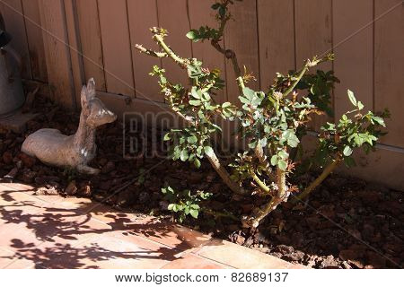 Rose Bush With First Growth