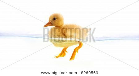 The  Yellow Duckling Swimming