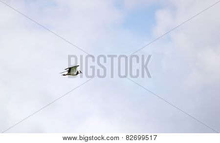 Flying Northern Lapwing