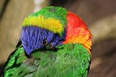 pic of lorikeets  - Lorikeet peering at the camera from under its wing.