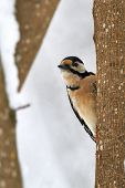 picture of pecker  - Great spotted woodpecker behind a tree in the winter - JPG