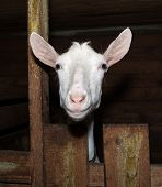 pic of saanen  - Saanen nice beautiful  white goat in barn - JPG