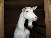 stock photo of saanen  - Saanen nice beautiful white young goat in barn - JPG