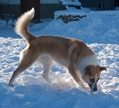 picture of spotted dog  - Red dog with white spots sniffing white snow - JPG