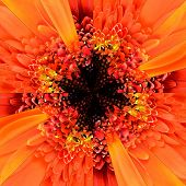 stock photo of symmetrical  - Orange Flower Center Symmetric Collage Made of Collection of Various Wildflowers - JPG
