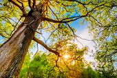 stock photo of planting trees  - Spring Sun Shining Through Canopy Of Tall Oak Trees - JPG