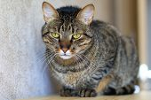 foto of tabby cat  - serious tabby cat with brown fur and stripes