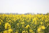 foto of rape-seed  - Oilseed rape (Brassica napus) blossom horizon from field.