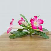 image of desert-rose  - Desert Rose blooming place on wood table - JPG