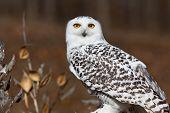 stock photo of snow owl  - Snowy Owl in Autumn - JPG