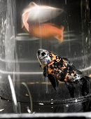 picture of daring  - The gravity keeps the water in the vase, in spite of  it standing above the water level in the pond. On the photo you see the first time that this fish dared to swim above the water of his trusted pond.