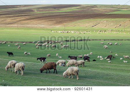 A Flock Of Sheep Grazing In An Open Field
