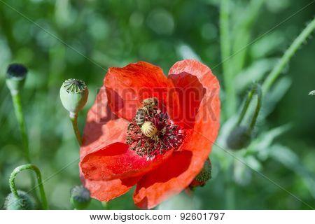 Bee - honeybee on poppy flower