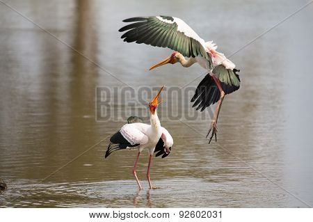 Two Yellow Billed Storks Fighting Over Prime Spot For Fishing