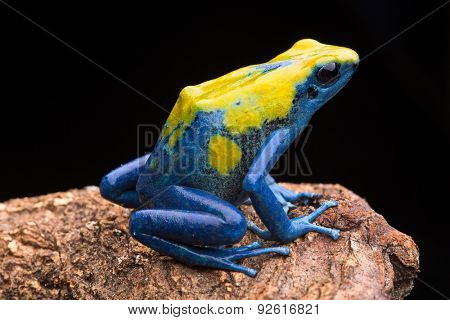 Poison arrow frog from the tropical Amazon rain forest, Dendrobates tinctorius. Jungle amphibian