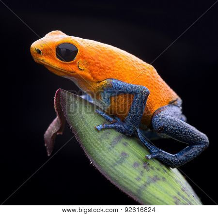 orange strawberry poison dart frog, Oophaga pumilio from the tropical rain forest of Panama. Beautiful exotic rainforest animal. Poisonous amphibian