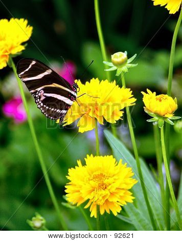 Butterfly - Zebra Longwing
