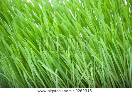 Close Up Of Fresh Green Grass For Cats. Cat Grass