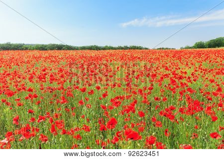 Red Poppy Flowers On Fields