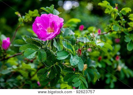Wild rose on the bush