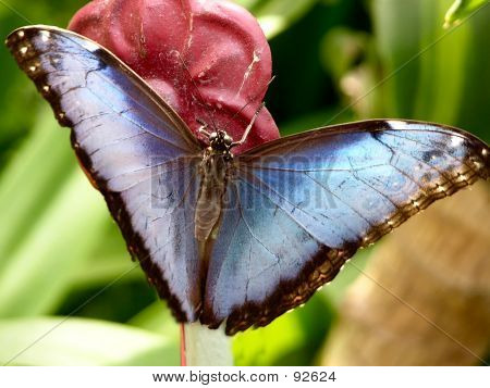 Butterfly - Blue Morpho