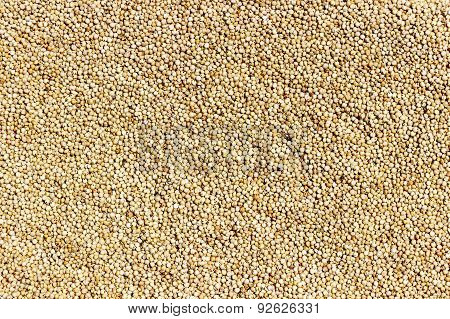 closeup of Sorghum seeds or white millet or whole jowar kernels background