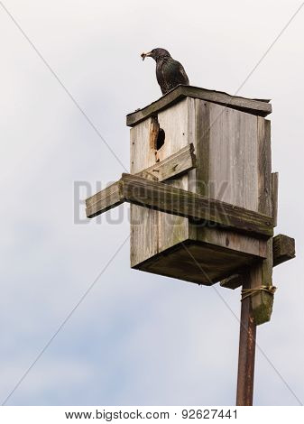 Starling On To The Birdhouse