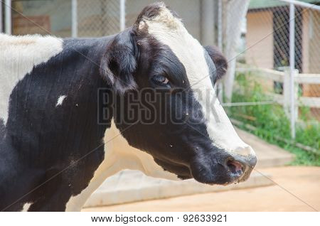 Close Up Of Cow Head. Head Of Black And White Cow.