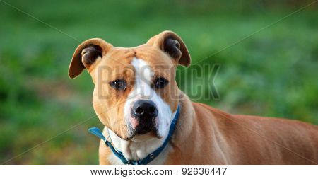 American Staffordshire Terrier, Close-up, On  Nature Green Background