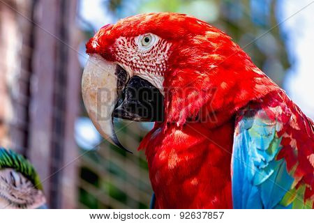 Red Macaw Or Ara Cockatoos Parrot Closeup