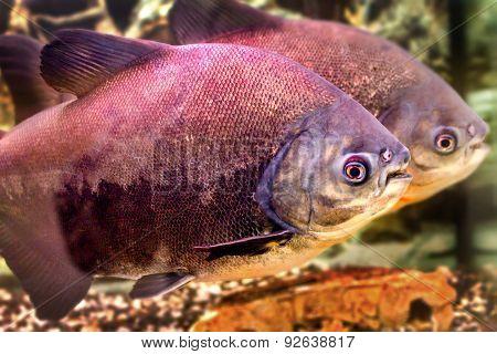 A Beautiful Aquarium Fish Black Pacup