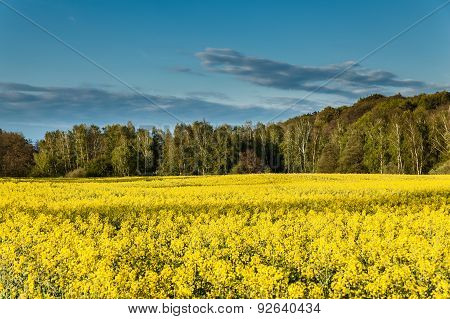 Yellow Oilseed Rape Field
