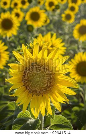 Sunflower, Species, Helianthus Annuus, Crop Landscape, Andalusia. Southern Spain.