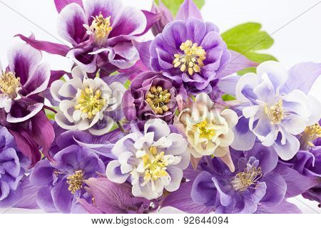 Bouquet Of Multi-colored Flowers Of Aquilegia Vulgaris